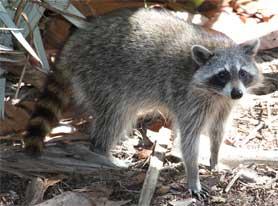 Racoon in Florida