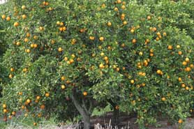 Orange plantations in Florida