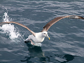 Albatross, Stewart Island, New Zealand