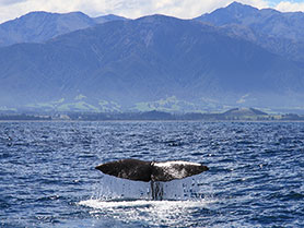 New Zealand, Whale Watching Kaikoura