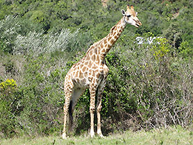 Wildlife Park, Giraffes, Plettenberg Bay, South Africa